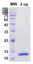 Recombinant Human IL2 protein ,C- His Tag图片1