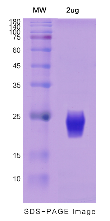 Recombinant Human IL3 protein ,C- His Tag图片1