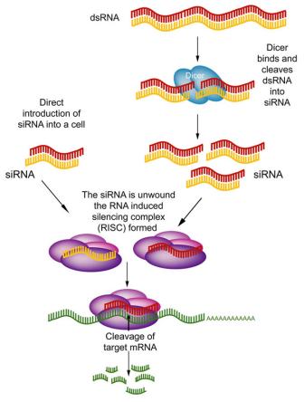 RNAi实验设计
