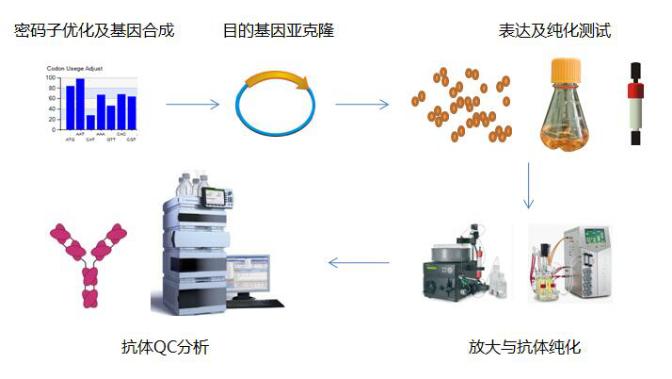 重组抗体表达流程