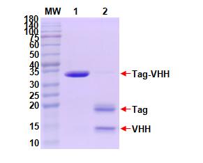 重组抗体表达11