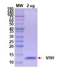 重组抗体表达12