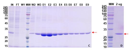 重组抗体表达2