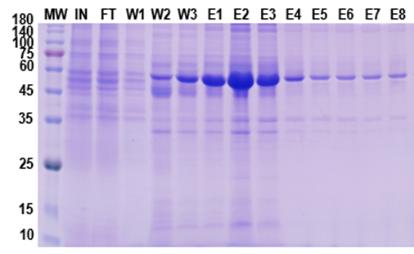 重组抗体表达5