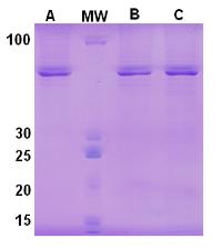 重组抗体表达6