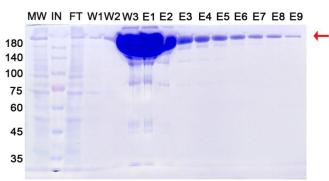 重组抗体表达8