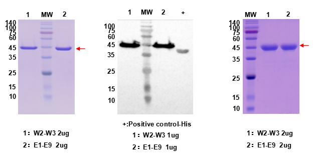 蛋白纯化案例