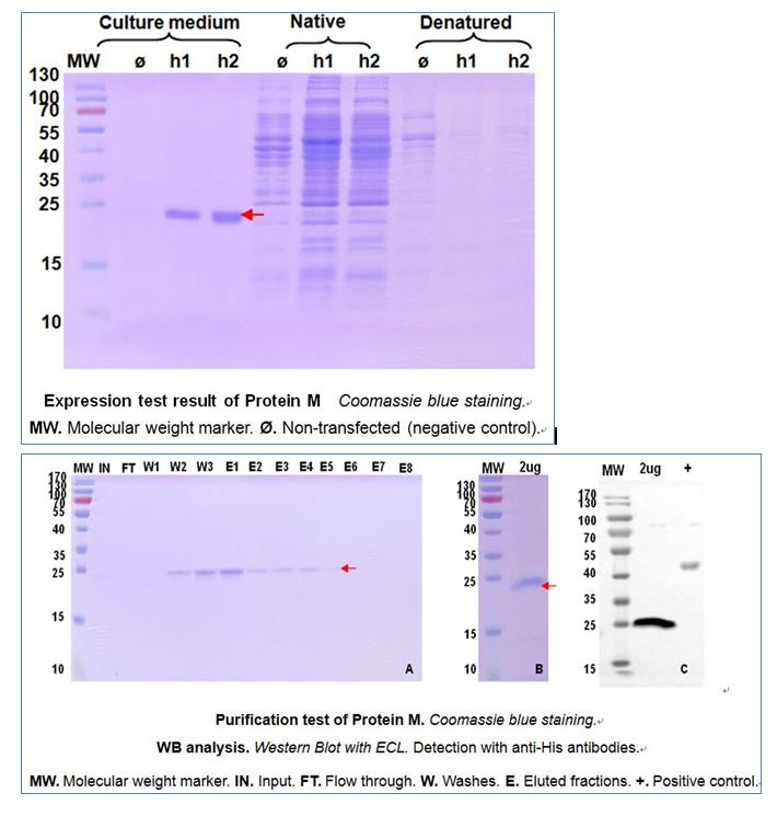 枯草芽孢杆菌蛋白表达案例1