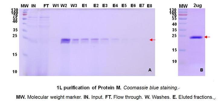 枯草芽孢杆菌蛋白表达案例2