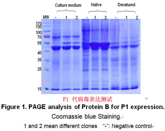 昆虫蛋白表达案例1