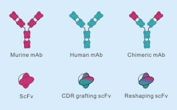 抗体人源化设计