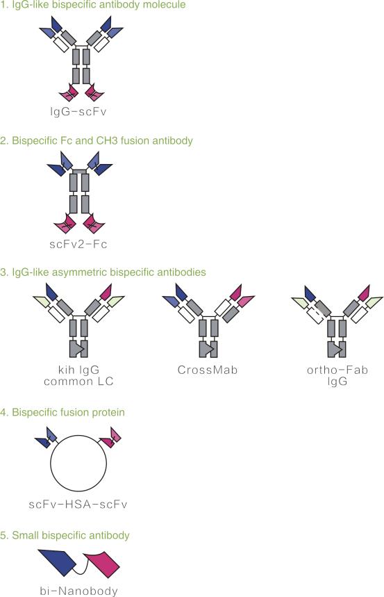 双特异性抗体类型设计