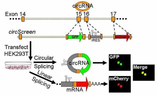 双荧光素酶报告基因检测设计