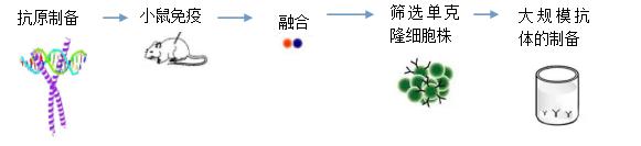鼠单克隆抗体制备流程