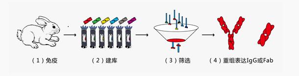 兔单克隆抗体制备流程